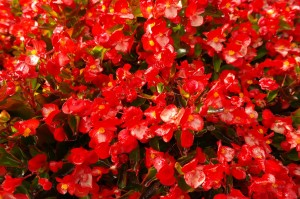 ice-begonias-jardin-vertical