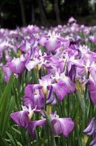 Iris japónica