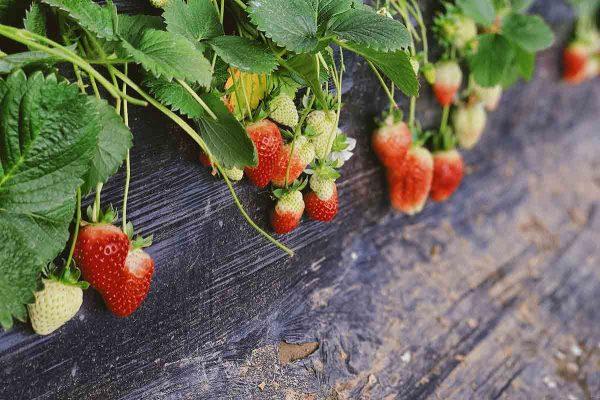 Plantas con fresas.