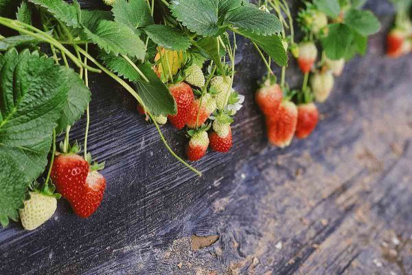 Plants with strawberries.