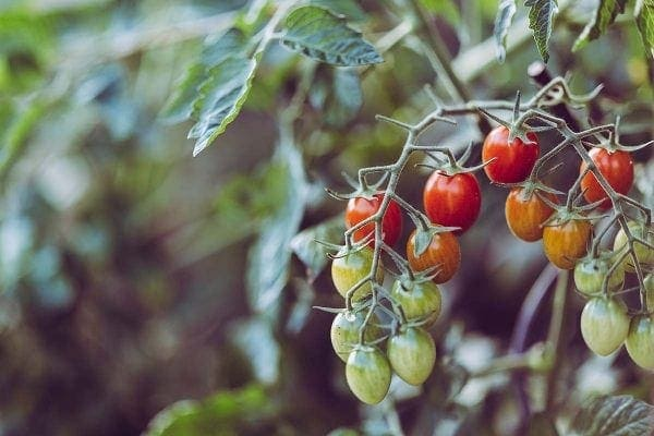 Planta tomatera con varios frutos madurando