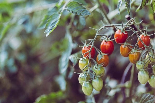 Tomato plant with several fruits ripening.