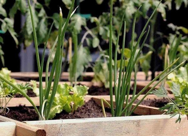 Huerto con diferentes plantas en jardineras de madera
