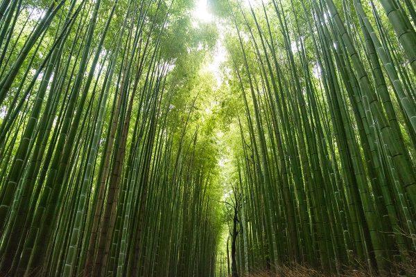 un bosque de bambú