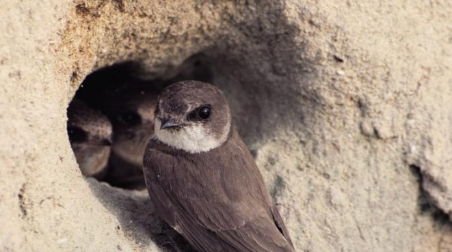 sand martin nests found galicia ave project