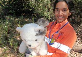 Koalas Australia Protección Medioambiente Ferrovial Toowomba Carretera